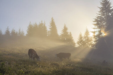 Grazing cow on misty morning meadow  photo