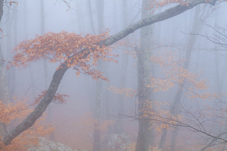Mysterious foggy autumn forest  photo