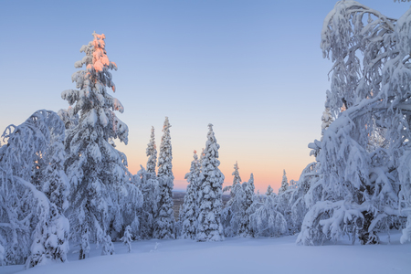 Magic sunrise in the snowy forest photo