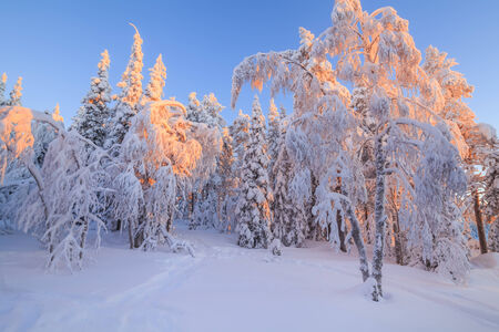 Beautiful magical snowy forest in the rays of the rising sun photo