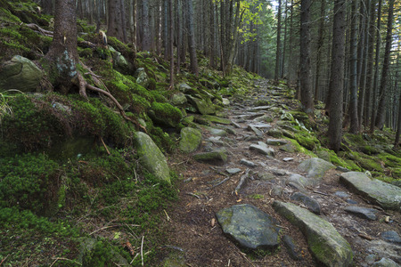 Mysterious beautiful pinewood forest with mossy stones photo