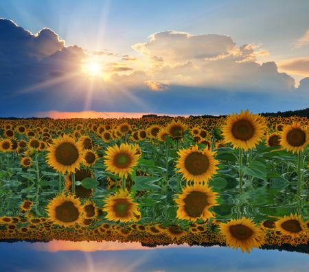 Reflection of sunflowers and sunset sky in the water photo