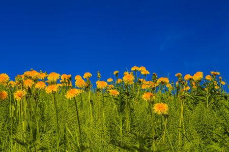 Beautiful yellow dandelions on a background of blue sky photo