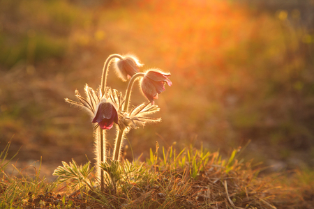 pulsatilla: Pasque Flower blooming on spring meadow at the sunset