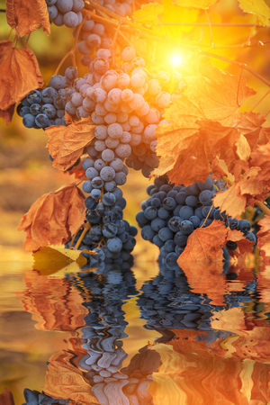 Reflection of grapes in clean water. Vine. photo
