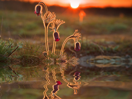 pulsatilla: Reflection of beautiful spring flowers and green grass. Stock Photo