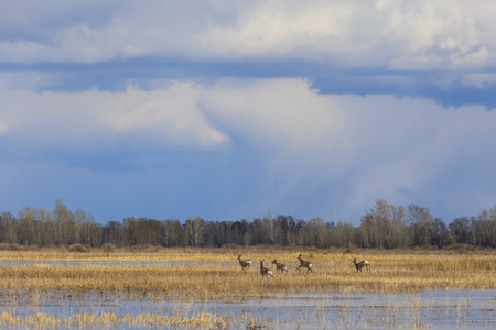 morass: A herd of deer running on a flooded field.