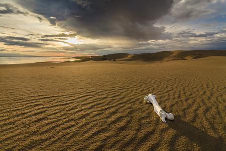 gobi: White bone on the sand in the Gobi Desert. Mongolia.