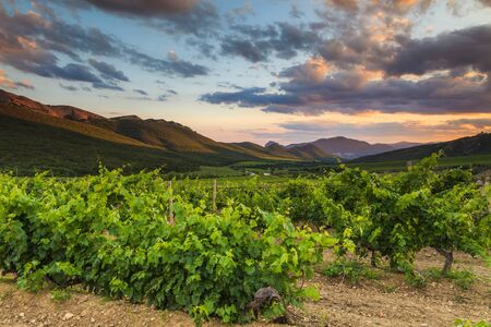 vineyard at sunset: The picturesque landscape with vineyards against mountains.
