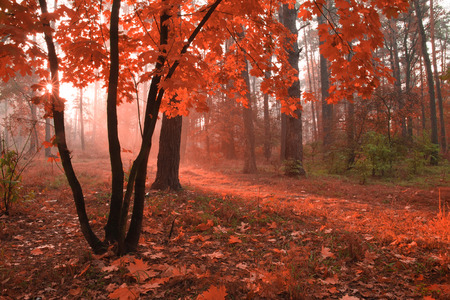 Misty autumn forest with red foliage on the trees.