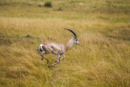 トムソンガゼル ナイロビ国立公園内。 写真素材