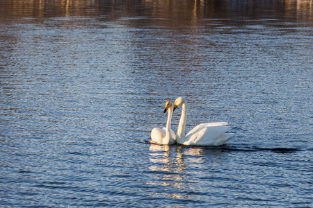 Two beautiful white swans swimming on the lake.