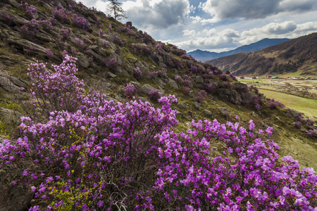 altai: Picturesque views of the Altai mountains and blossoming maralnik.