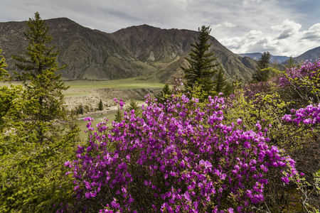 katun: Picturesque views of the Altai mountains and blossoming maralnik.