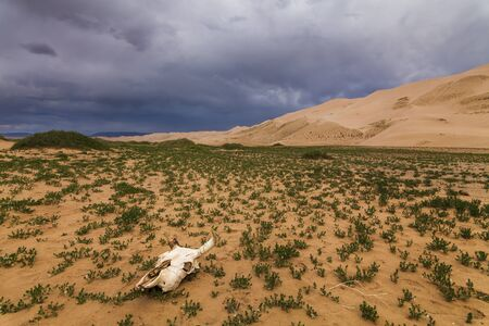 gobi: White skull on the sands of the Gobi desert. Mongolia. Stock Photo