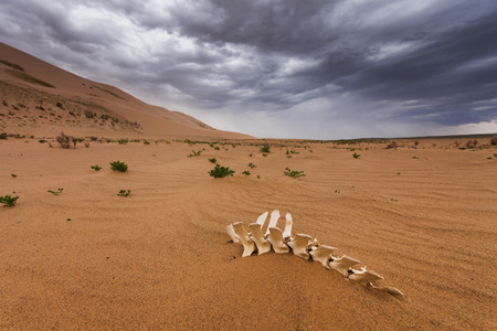 gobi: White bones on the sands of the Gobi desert. Mongolia.