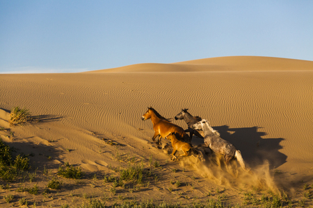 gobi: Beautiful running horses in the Gobi Desert. Mongolia.