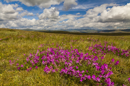 siberia: Field with wild flowers and mountains on the background.