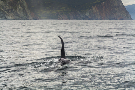 transient: Big killer whale at coast of the Kamchatka Peninsula.