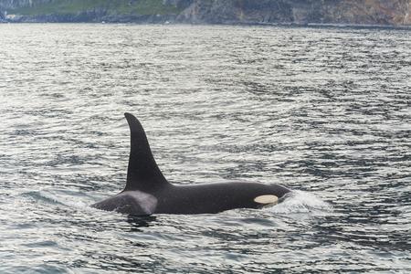 Big killer whale at coast of the Kamchatka Peninsula.
