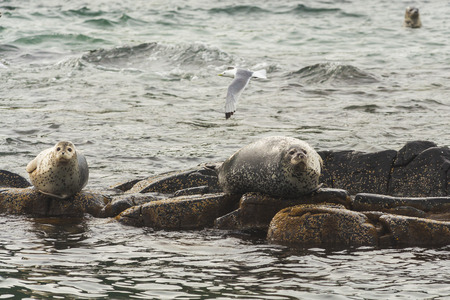 baby seal: Rookery Steller sea lions. Fauna of Kamchatka Peninsula