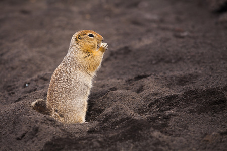 Funny squirrel on volcanic soil. Kamchatka Peninsula. Stock Photo