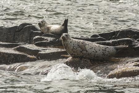 kamchatka: Rookery Steller sea lions. Fauna of Kamchatka Peninsula