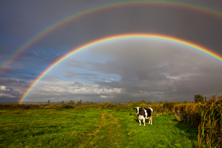 Cows grazing in the background of a beautiful double rainbow Stock Photo
