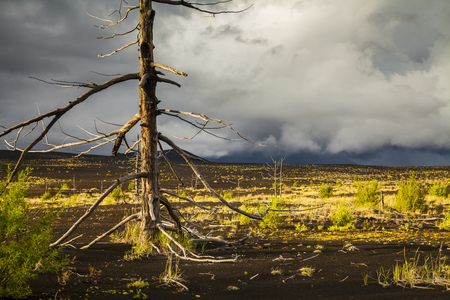 Lifeless trees in the Dead  Forest after the eruption. Kamchatka peninsula