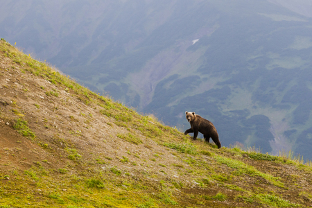Brown bear on the background the volcano. Kamchatka peninsula