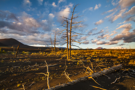 lifeless: Lifeless  trees in the Dead forest after the eruption. Kamchatka peninsula
