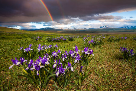 Fantastic landscape with field of iris on a background of rainbow