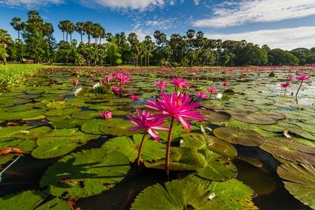 Dawn on the lake with lotuses. Cambodia, Angkor Wat Stock Photo