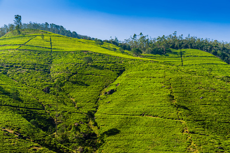 Green tea plantation in the mountains. Sri Lanka.