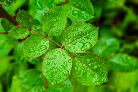 After rain water drops form on rose leaves in garden Stock Photo