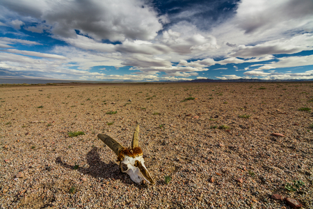 Skull of roe deer on stony ground in the desert