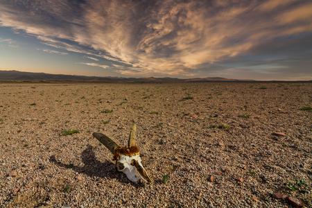 Skull of roe deer on stony ground in the desert. Namibia, Africa Stock Photo