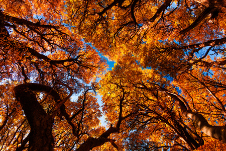 Golden forest trees near the Fitz Roy in autumn