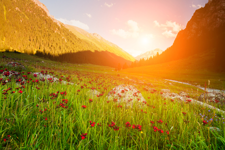 Field with flowers in mountain valley. Summer landscape during sunset Stock Photo
