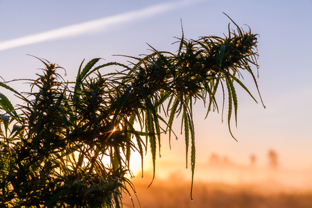 Marijuana close-up in the rays of the dawn sun