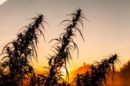 Marijuana close-up in the rays of the dawn sun. Stock Photo