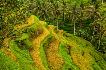 Beautiful rice terraces at Tegalalang village, Ubud, Bali.
