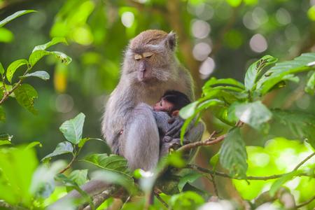 Crab-eating macaque Macaca fascicularis in Gunung Leuser National Park, Sumatra, Indonesia..