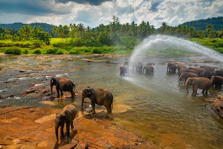 Elephants bathing in the river. Pinnawala Elephant Orphanage. Sri Lanka. 版權商用圖片