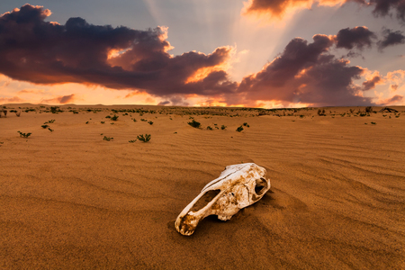 Skull of an animal in the sand desert at sunset. 스톡 콘텐츠