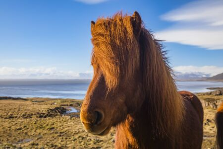 Icelandic horses. The Icelandic horse is a breed of horse developed in Iceland. Stok Fotoğraf