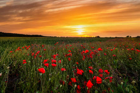 Field with flowering poppies at sunset. Beautiful summer landscape