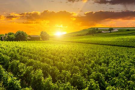 Beautiful vineyard at sunset. Travel around Tuscany, Italy.