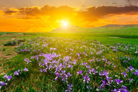 Beautiful Iris field on a background of sunset in the mountains