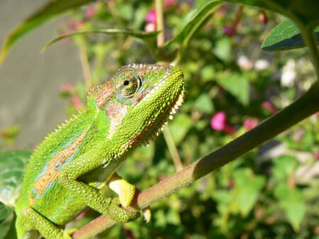chameleon climbing a branch Stock Photo
